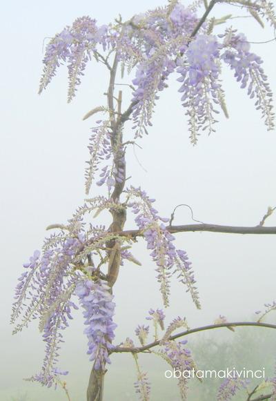 Glicine nella Nebbia in Vinci