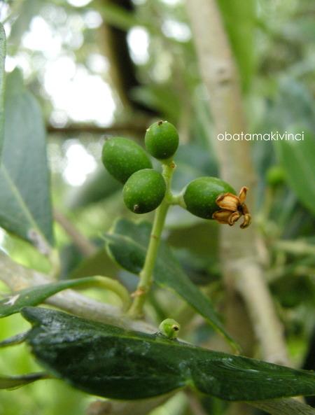 Olive 13 Giu.