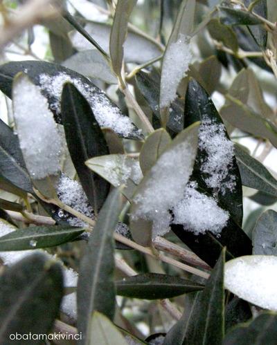 Olivo con la Neve