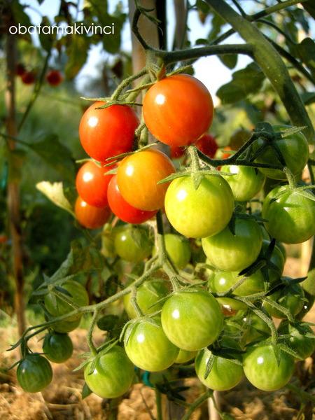 mini pomodori come arcobaleno 1