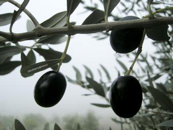 Olive Pronte