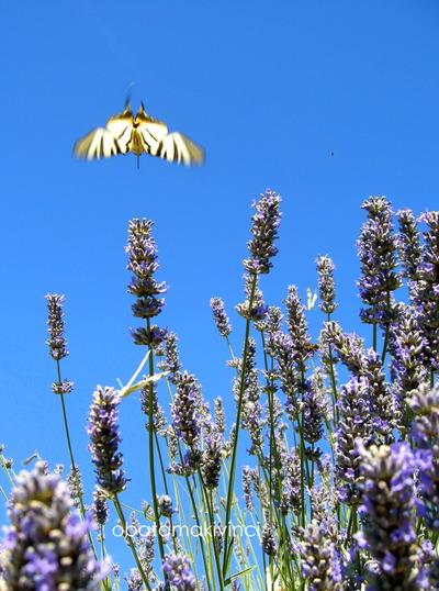 arrivano tante farfalle