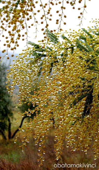 Mimosa Brillante