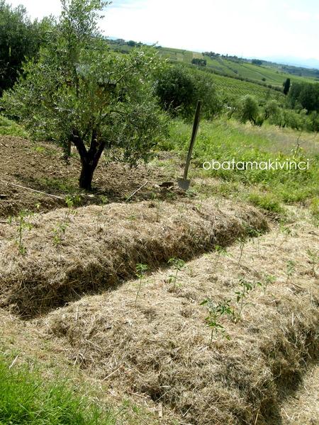 Orto Sinergico piantato Pomodori