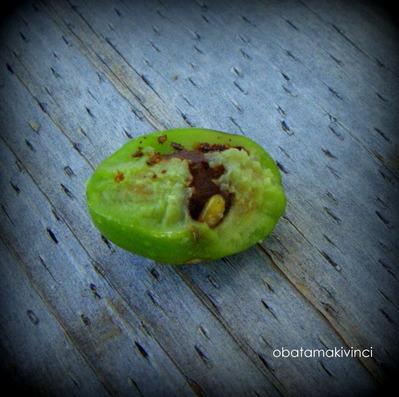 Larva di Mosca dell'Olivi