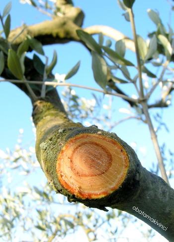Anello dell'ramo di Olivo