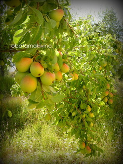 Anno di Frutta Pera Coscia