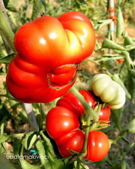 Pomodori nel mio orto sinergico