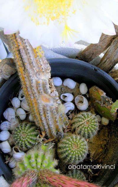 Cactus sta esaurendo facendo i fiori e i figli