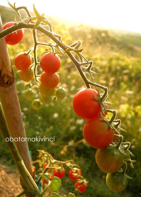 pomodori nella fine giornata