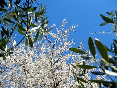 Olivi e Susine