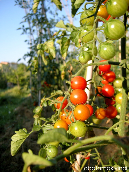 mini pomodori come arcobaleno 3