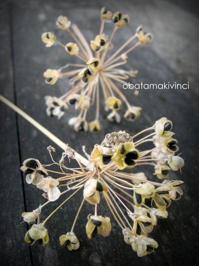 Spoglia di Erba Cipollina-Aglio Cinese-Allium Tuberosum