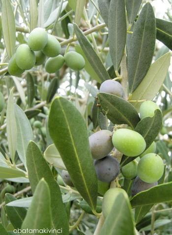 Olive metà Settembre 1