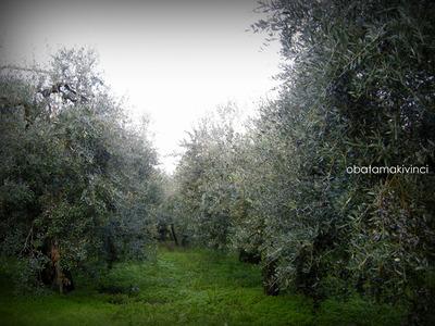 Oliveto a Cerreto Guidi