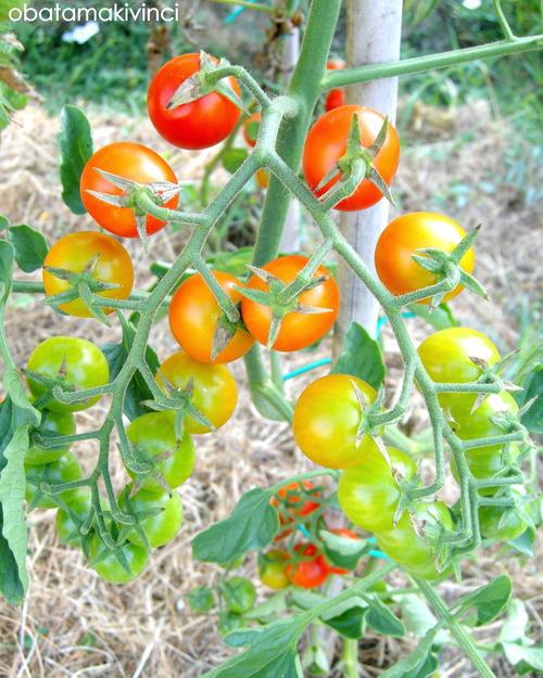 mini pomodori come arcobaleno 4