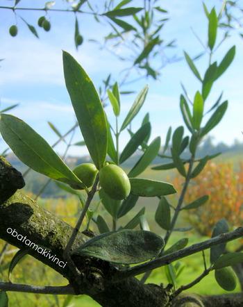 Olive sono nate da miniramo