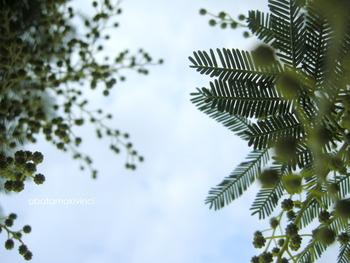 Mimosa Nera