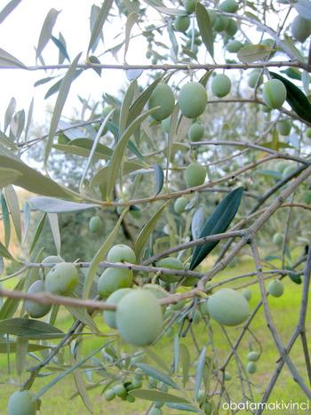 Olive metà Settembre 3