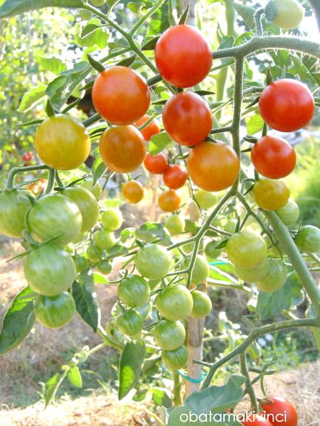 mini pomodori come arcobaleno 5