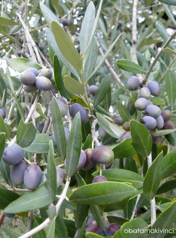 Olive metà Settembre 4