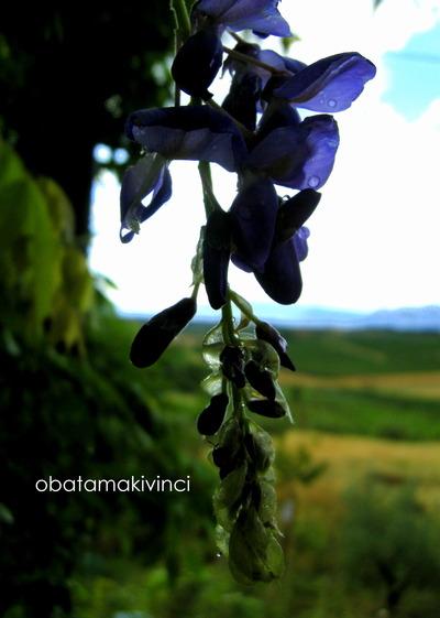 Gocce su Fiore di Glicine