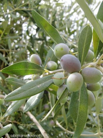 Olive metà Settembre 2