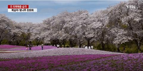 【韓国の反応】外来種のカミキリムシのせいで消えた日本の「ソメイヨシノ」の風景→韓国人「桜の起源は……」