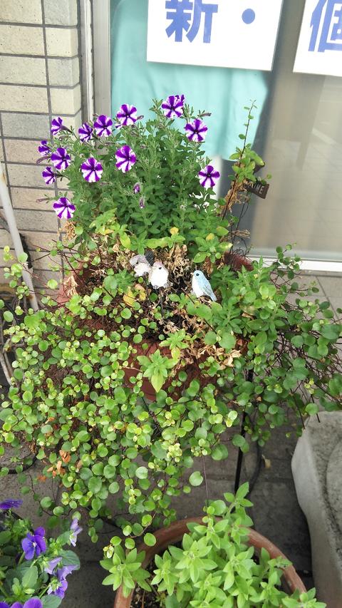 190424越冬した花