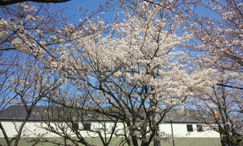 130321桜