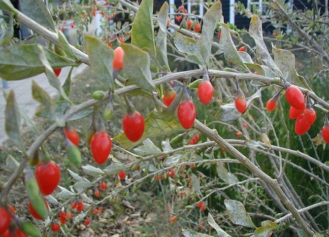 ナガバクコの果実