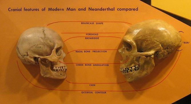 現生人類(左)とネアンデルタール人(右)の頭蓋骨の比較写真