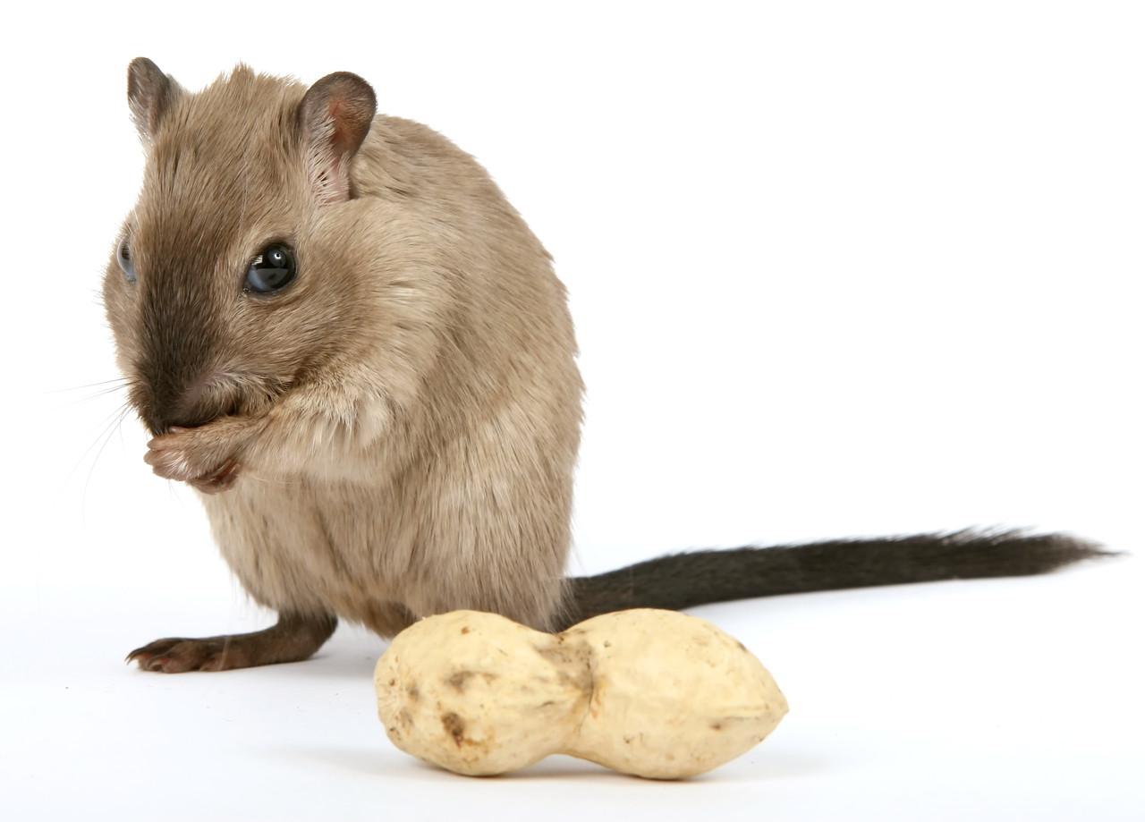 ネズミの画像 p1_36