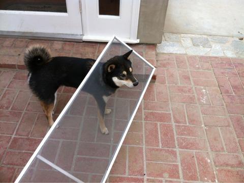 Fotografías-de-perros-Shiba-atorados-en-cosas-3