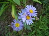 お花ブルー