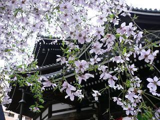 20114sakura 079