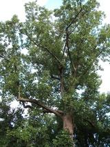戸堀家の木