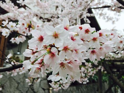 桜2017_3