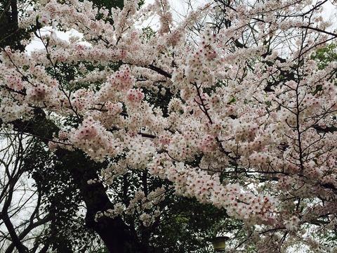 桜2017_1