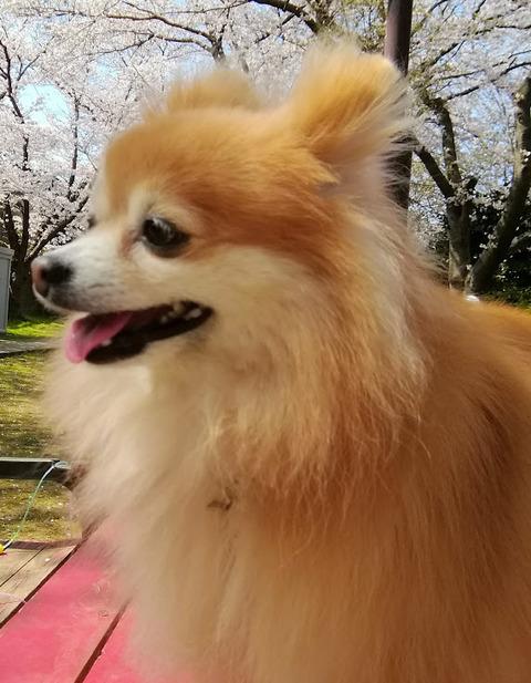 20180328花見散歩チャッピー