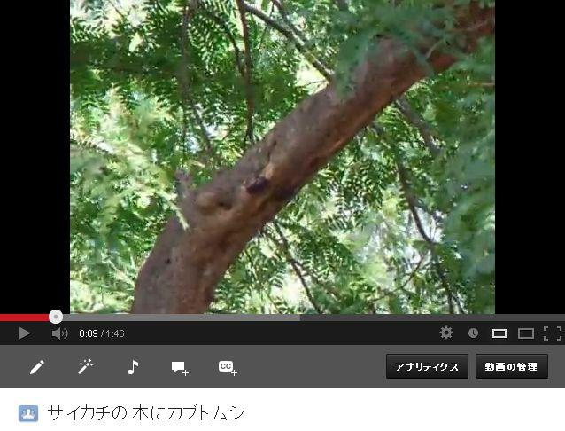 サイカチの木にカブトムシ