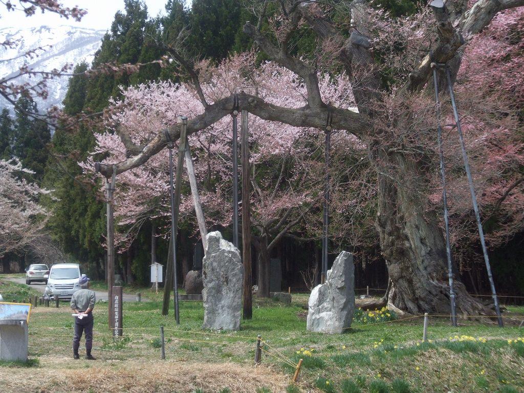 釜の越桜(山形県白鷹町)