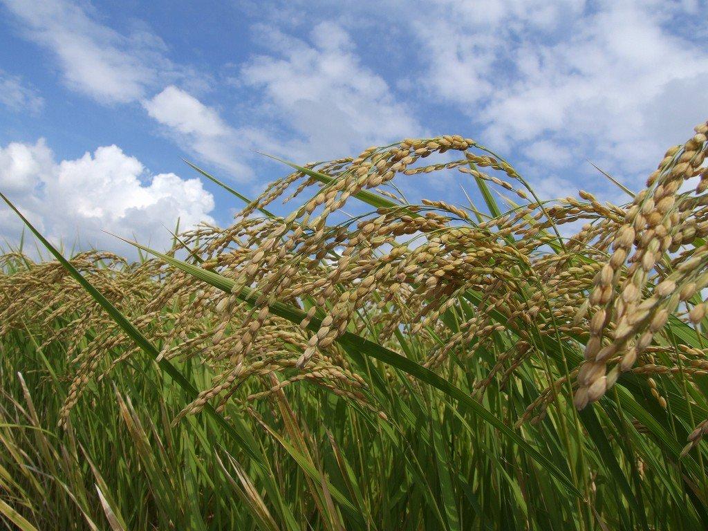 稲の実り&朝風呂