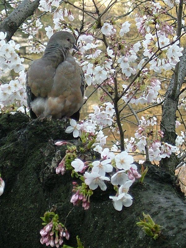 桜とヤマバト