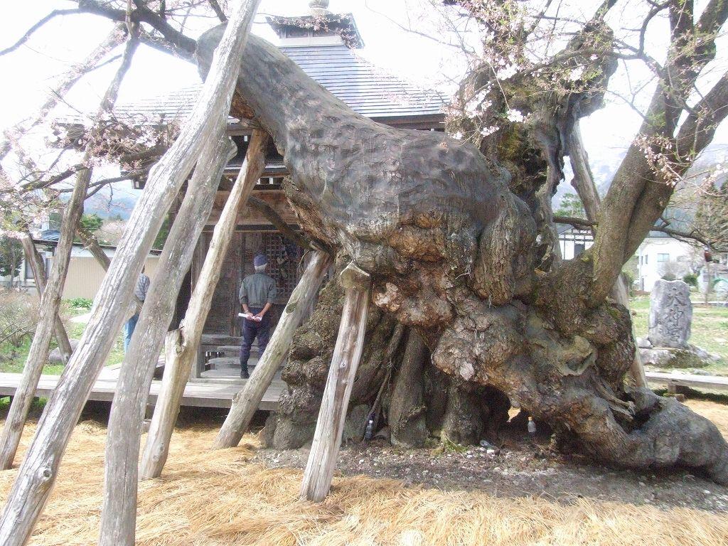 薬師桜(山形県白鷹町)