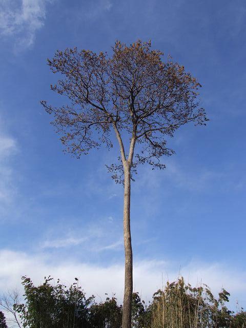 シラサギの守り木