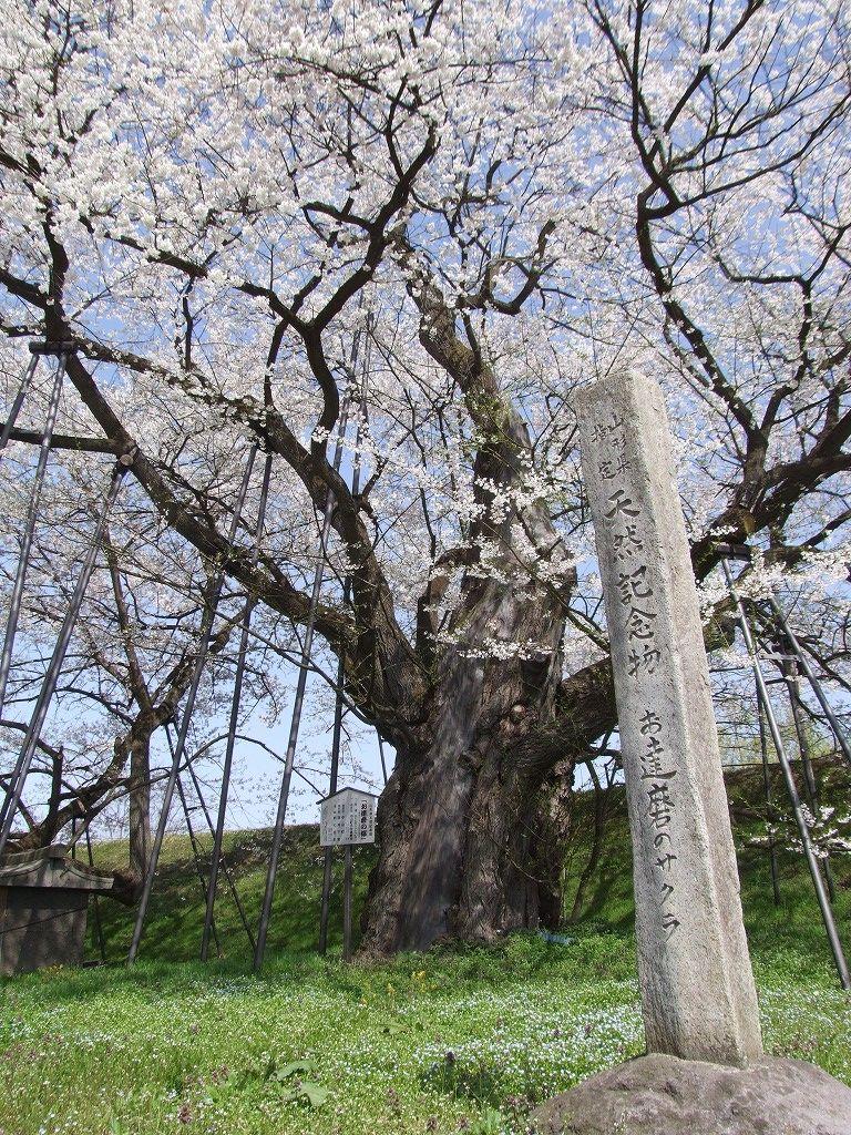 お達磨の桜(山形県中山町)