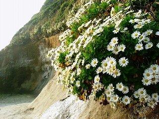 ハマギク(田尻浜・大田尻浜)2003年11月3日