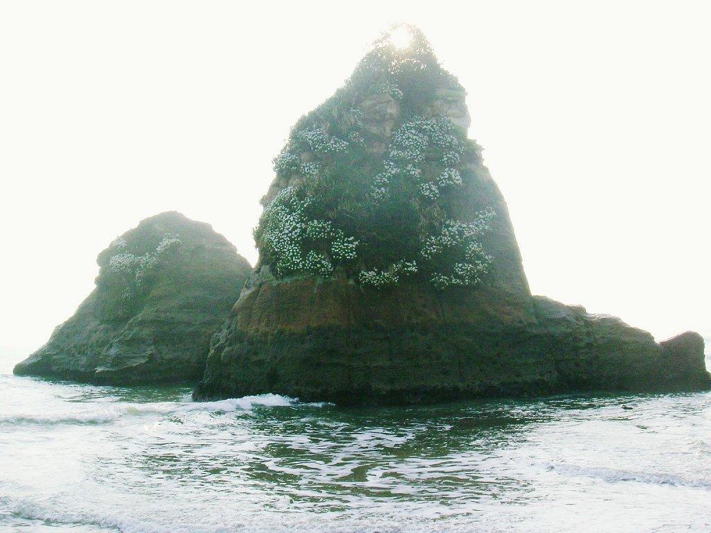 ハマギク(田尻浜)2003年11月3日