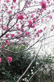 花桃(ハナモモ)